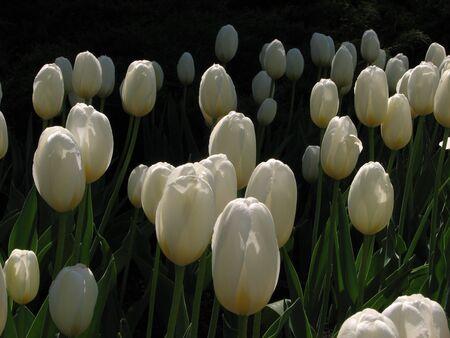 Weergave van witte tulpen