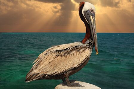 Pelican on a post at early sunrise