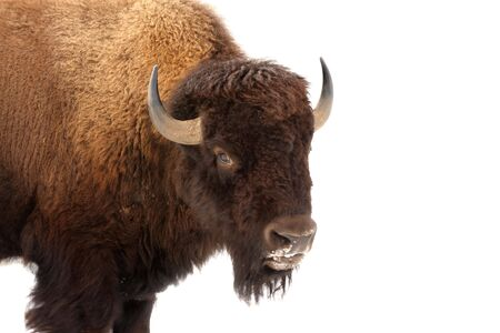 American buffalo standing isolated in white snow