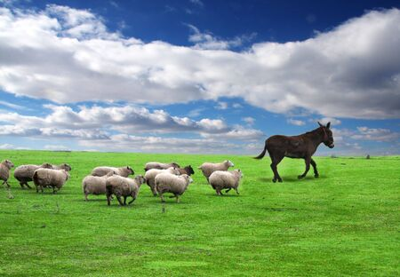 A group of sheep following the leader Stock Photo
