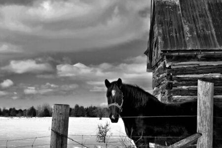 Fiers de travail cheval debout par une vieille cabane.