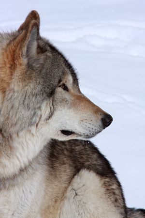 Side profile of a beautiful wolf sitting in the snow Stock Photo - 6430779