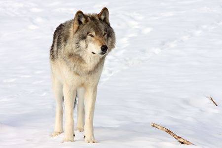 grey: Front view of a standing wolf in the snow