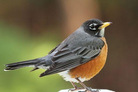 American Robin piÄ™kne odÅ'ogowanie leading na posterunku ogrodzenia.  Zdjęcie Seryjne