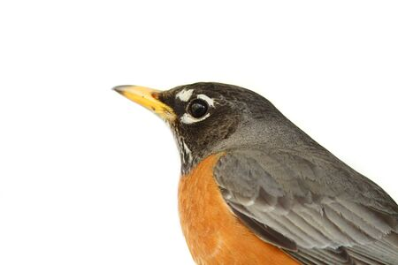 robin bird: American robin isolated on white background