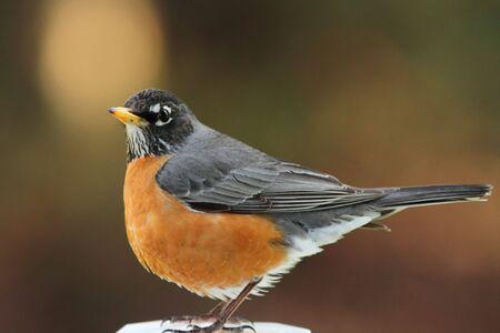 Een mooie Amerikaanse Robin rust perched op een hek post.
