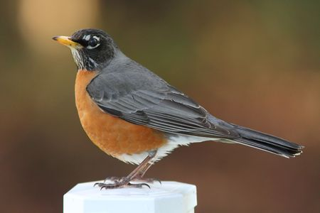 A beautiful american robin standing on a post.  Stock Photo