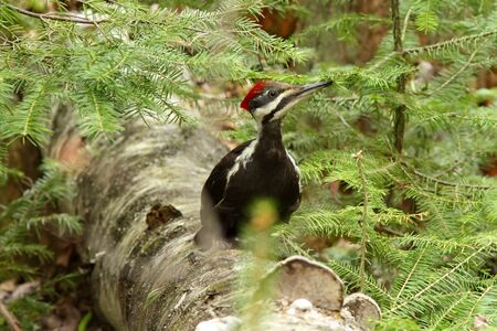 Pileated woodpecker (Dryocopus pileatus) in natural suroundings Stock Photo