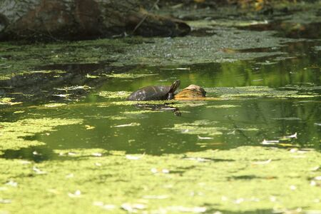 Wetland swamp and turtle resting on a log Stock Photo - 7150464
