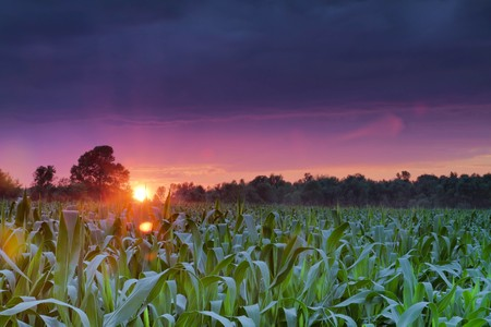 Colorful summer sun setting on a cornfield