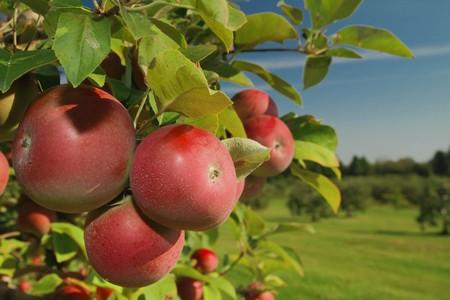 manzana roja: Clúster de manzanas maduras sobre una rama de árbol