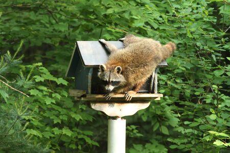 A racoon raiding a bird feeder in early morning