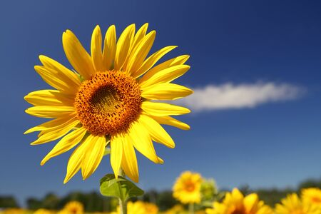 Colorful close-up of a sunflower in field  Stock Photo