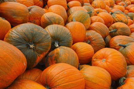 A view of a pumpkin harvest in autumn