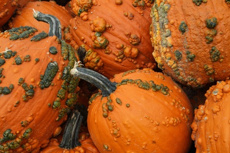 bumpy: A view of a pumpkin harvest in the autumn Stock Photo