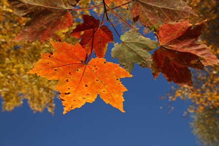 A view of autumn leaves against a bright blue sky
