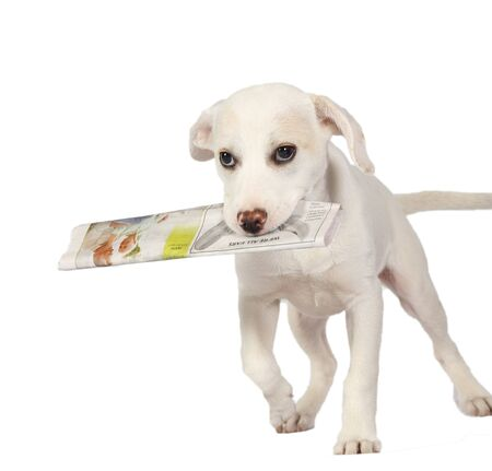 deliver: Lab puppy delivering the newspaper