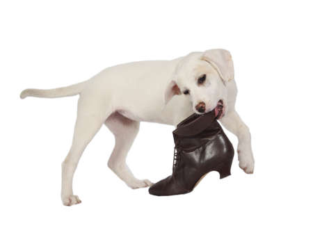 Lab puppy playing with boot