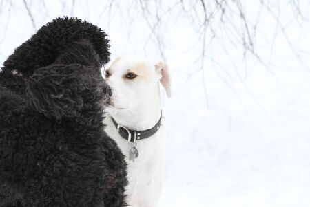 Two dogs meeting and getting acquainted on winter day Stock Photo