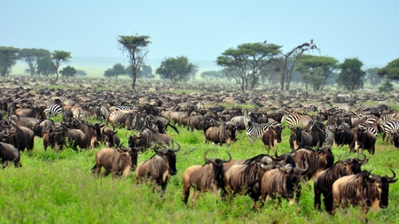 migrating animal: The Great Migration. Serengeti National Park, Tanzania