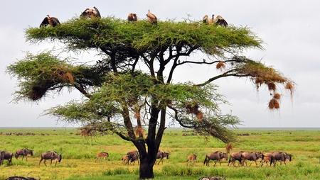 Vulture tree. Serengeti National Park, Tanzania Zdjęcie Seryjne