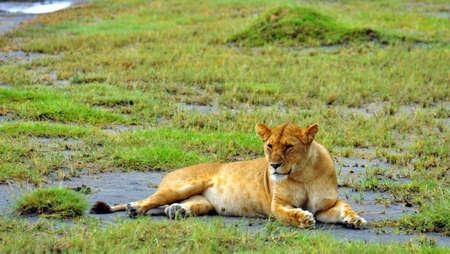 Lioness. Serengeti National Park, Tanzania Zdjęcie Seryjne