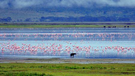 flamingos: Hyena and flamingos. Ngorongoro Crater, Tanzania Stock Photo