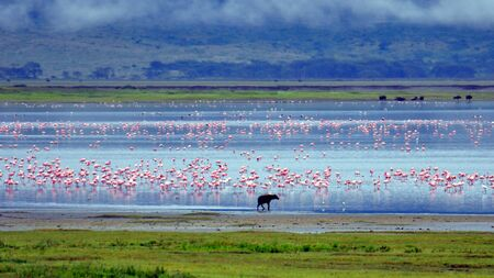 Hyena and flamingos. Ngorongoro Crater, Tanzania Zdjęcie Seryjne