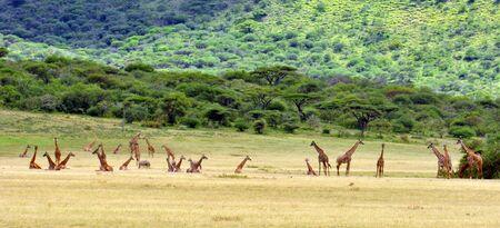 Twenty-seven giraffes. Serengeti National Park, Tanzania