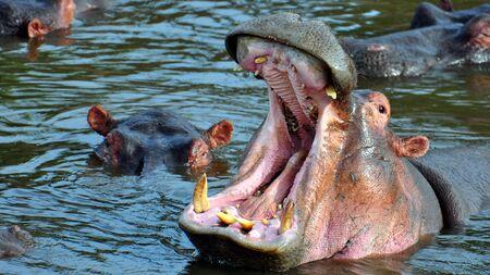 gigantesque: Gigantesque bouche ouverte du hippopotames. Parc national de Serengeti, Tanzanie
