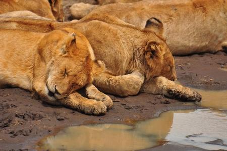 Lion cubs sleeping. Serengeti National Park, Tanzania photo