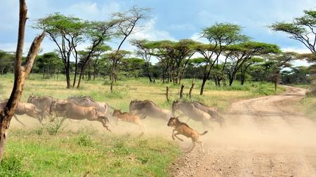 Wildebeest running. Serengeti National Park, Tanzania