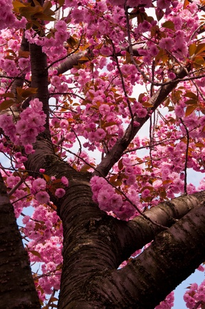 Cherry Blossom trees in peak bloom at the Brooklyn Botanical Gardens, New York City photo