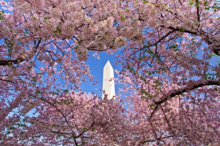 flor de cerezo: Monumento a Washington durante el Cherry Blossom Festival en el National Mall de Washington, DC