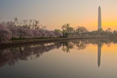george washington: Monumento a Washington durante el Cherry Blossom Festival en el National Mall de Washington, DC