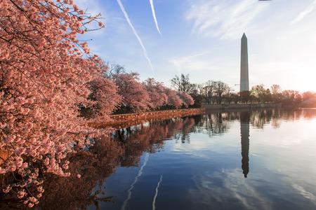 Cherry blossoms in peak bloom. Washington D.C. 写真素材