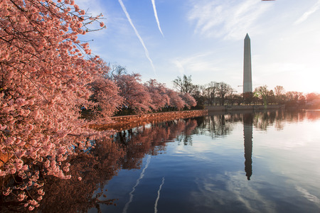 Cherry blossoms in peak bloom. Washington D.C. Stock Photo