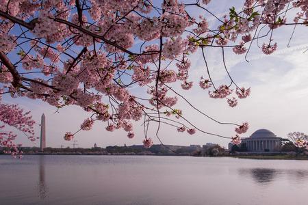 cerezos en flor: Flores de cerezo en flor pico. Washington DC Foto de archivo