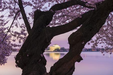 Cherry blossoms in peak bloom. Washington D.C. Zdjęcie Seryjne