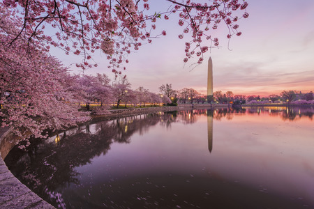 monument: Cherry blossoms in peak bloom. Washington D.C. Stock Photo