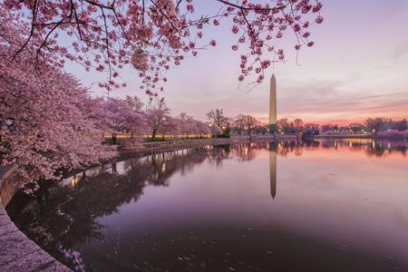 george washington: Flores de cerezo en flor pico. Washington DC Foto de archivo