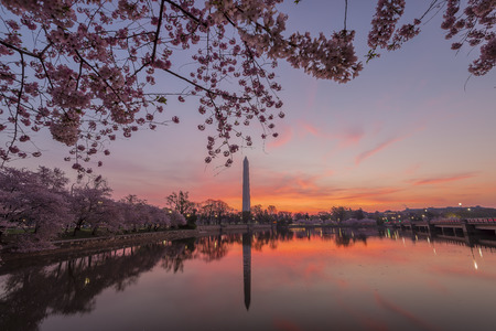 spring tide: Cherry blossoms in peak bloom. Washington D.C. Stock Photo