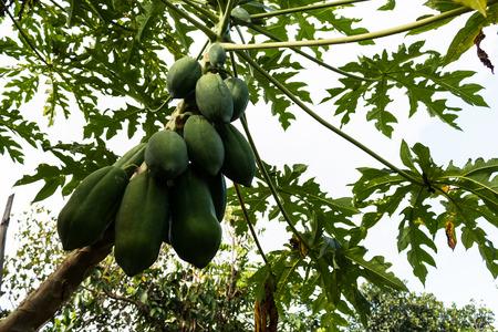 green papaya: Green papaya tree full