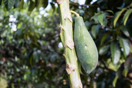 Green papaya tree photo