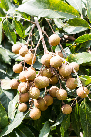 Longan orchards -Tropical fruits longan for background photo
