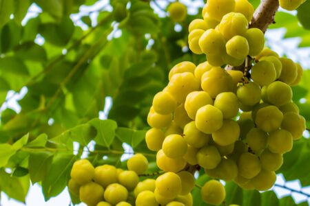 star gooseberry on tree in thailand photo