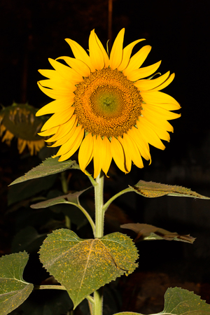 late summer: sunflower at night for background Stock Photo
