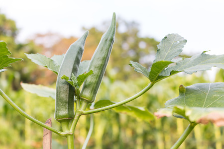 field crop: Gumbo, variety of herb green Stock Photo
