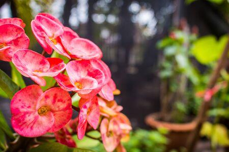 poi: Poi Sian pink flowersin vivid colors