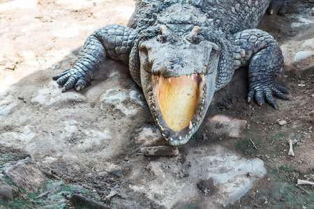 alligators: Aggressive alligators jaw